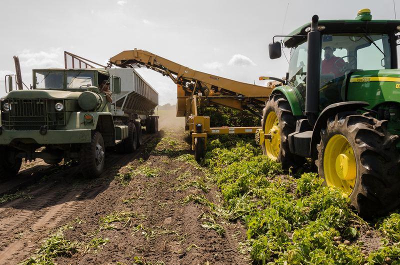 zbieranie warzyw na polu