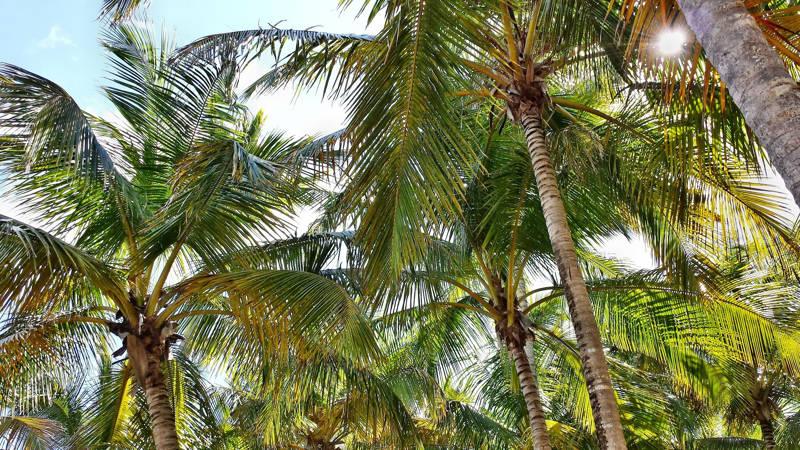 palma olejowa uprawy RSPO